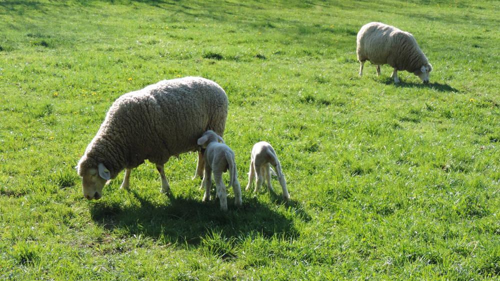Wolle kommt vom Schaf